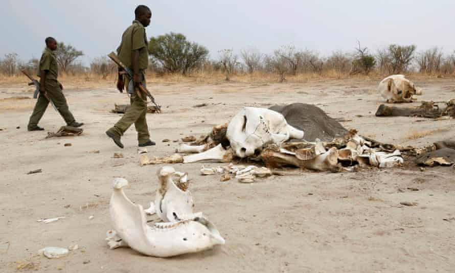 In Zimbabwe's Hwange National Park, wardens walk past the remains of an elephant poisoned by poachers.