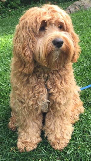 A cockapoo, which is mix between a cocker spaniel and poodle.