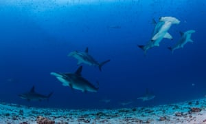 A group of hammerhead sharks swims over a sandy bottom with garden eels at Darwin Island.