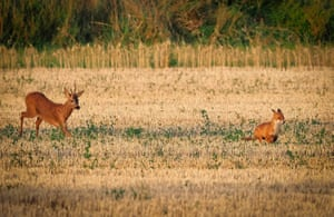 A deer hunts a fox in a harvested wheat field on near Chinon, France