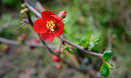 Flowering quince 'Crimson and gold'.