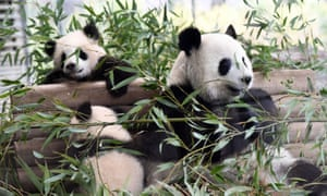 Berlin panda cubs Meng Yuan and Meng Xiang will remain out of public view.