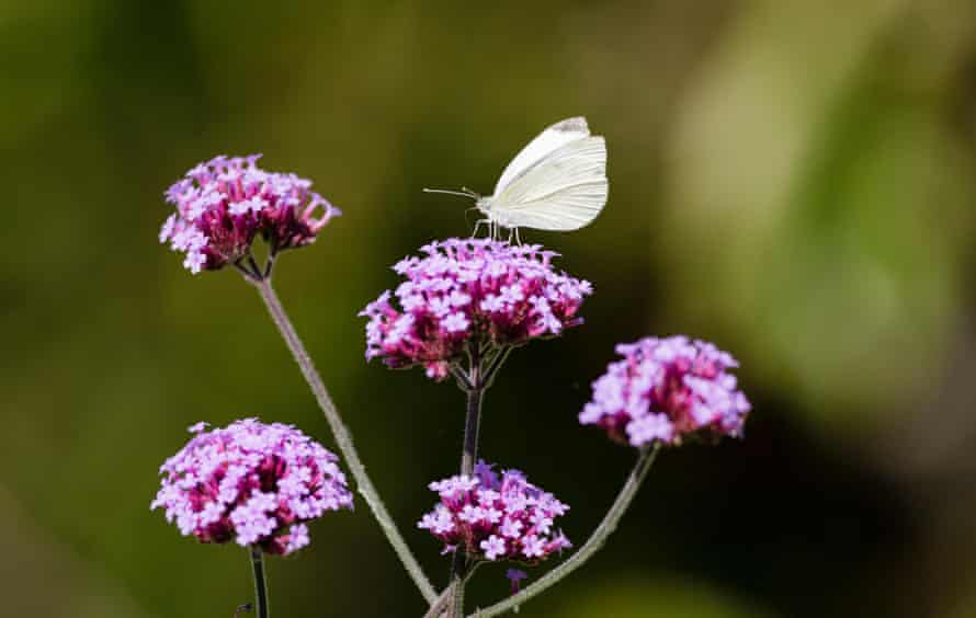 A small white butterfly, one of the most-seen species.