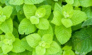 Gorgeous fresh apple mint… why doesn't mine look like that?