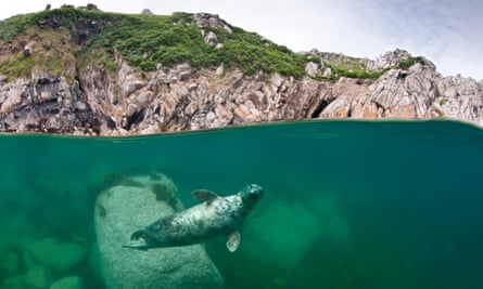 an Atlantic grey seal under the water off Lundy Island