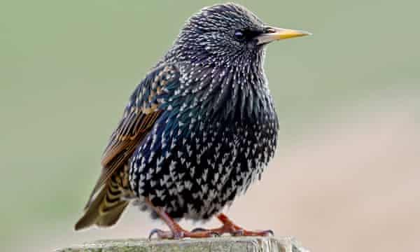 A female starling.