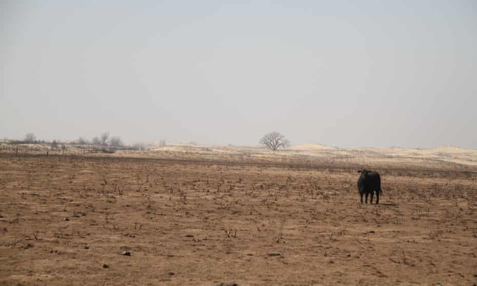 A lone cow wanders charred prairie following devastating wildfires in Clark County, Kansas. Farmers and ranchers on the high plains are struggling amid a lengthy dry spell and the aftermath of destructive wildfires.