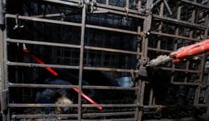 A man breaks a lock to rescue a sun bear in Nam Dinh, Vietnam