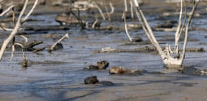 Alligators and capybaras are stuck in the mud of the dry Pilcomayo river on the border between Paraguay and Argentina, in Boqueron