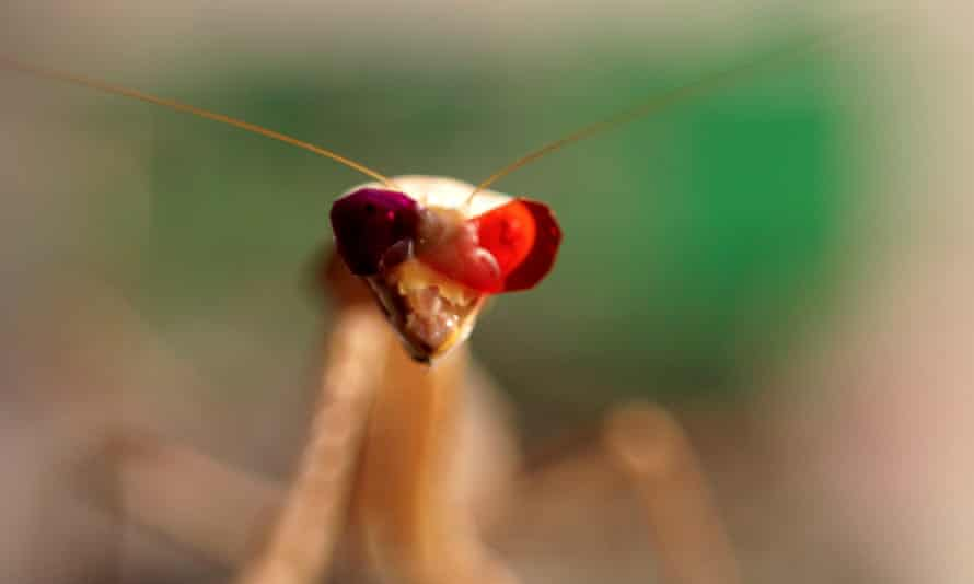 A praying mantis fitted with miniature 3D glasses, in a research facility at Newcastle University.
