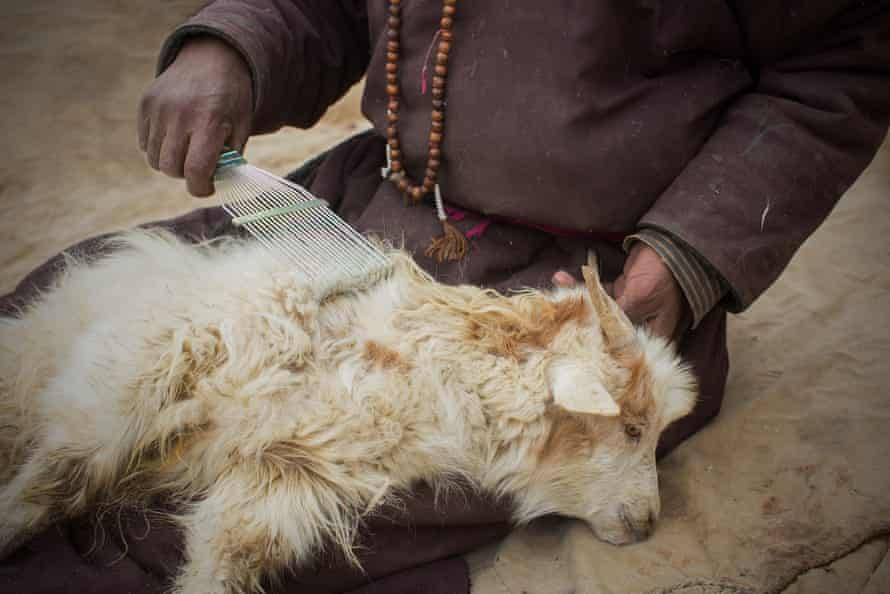 A goat is combed by a herder