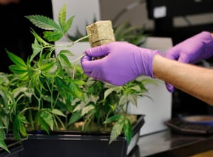 A sales clerk with cannabis plants at a cannabis dispensary in Oakland, California. It became legal to buy recreational cannabis on 1 January.