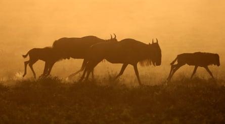The wildebeest migration in Tanzania.