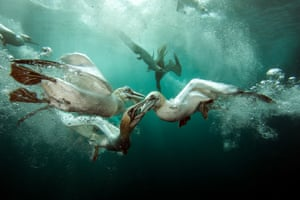 <strong>Underwater photographer of the year, February </strong><br>British underwater photographer of the year and British waters wide angle winner: Matt Doggett with 'Gannets Feast', Shetland Islands, UK