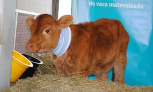 Rosita Isa, a cow genetically modified to produce human-like milk.
