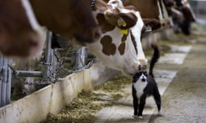 Dairy cows nuzzle a barn cat as they wait to be milked at a farm in Granby, Quebec, Canada.