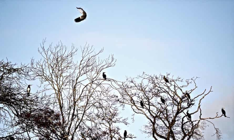 A heron flies over cormorants on Moscow Island