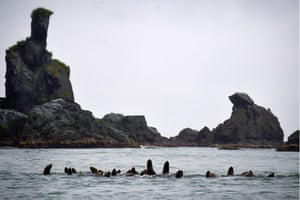 Steller sea lions in the Avacha Gulf, Kamchatka, Russia