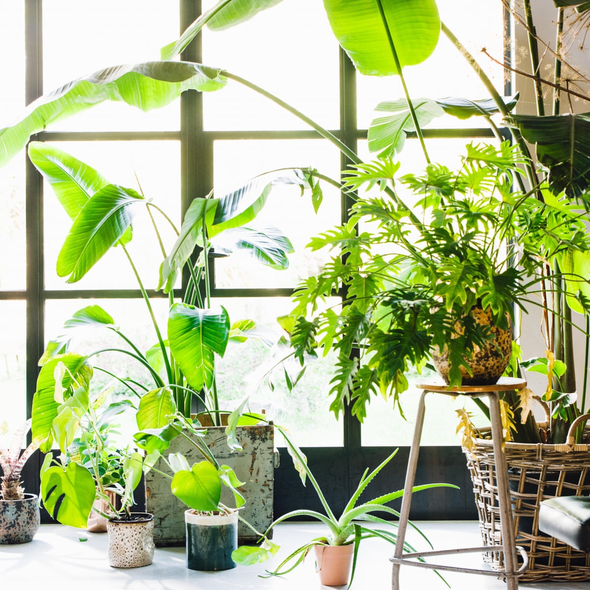 How To Grow Houseplants Fit For The Chelsea Flower Show Life And Style The Guardian,New York Times Travel Ban To Europe