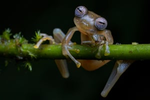 Winner -Behaviour, Amphibians and Reptiles: Life in the balance by Jaime Culebras, Spain.  A Manduriacu glass frog snacks on a spider in the foothills of the Andes, northwestern Ecuador. After a four hour trek in the rain, Jamie was thrilled to spot one small frog clinging to a branch, its eyes like shimmering mosaics. This is the first picture of this newly discovered species feeding.