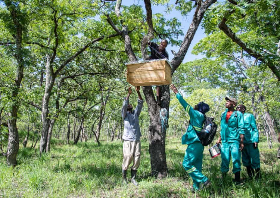 Community forest guards putting up beehives