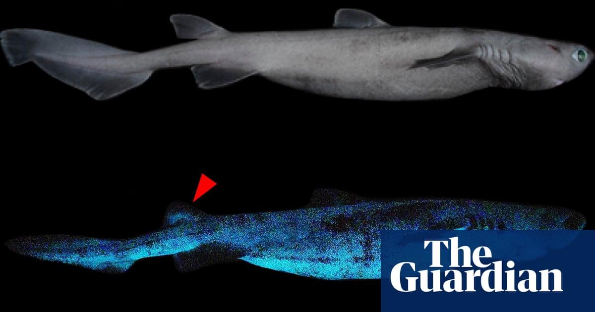 'Giant luminous shark': researchers discover three deep-sea sharks glow in the dark