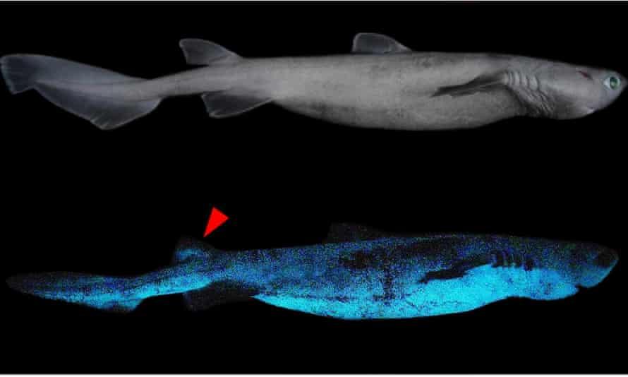 Bioluminescence of the kitefin shark