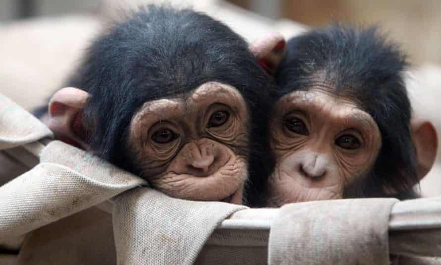 Two chimpanzees hug each other to keep warm in a box