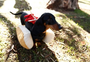 Eve The Democratic sausage dog looks at a barbecue in the community at the headquarters of Butby, South Australia.