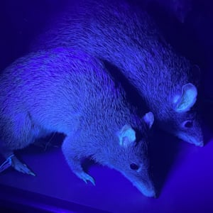 Bandicoots under UV light.