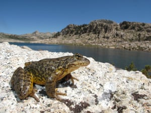 There's a spring to the step of this Sierra Nevada yellow-legged frog