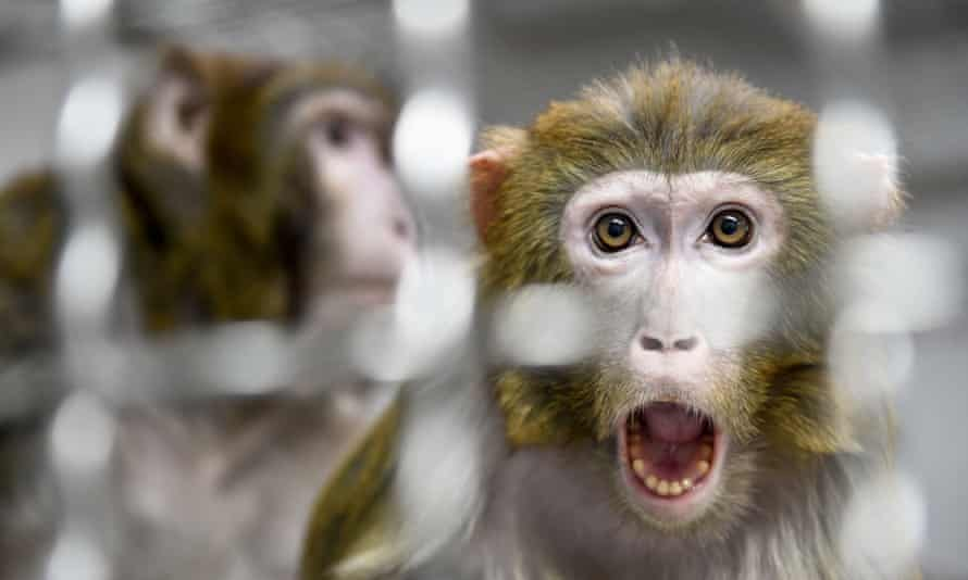 A record 74,000 monkeys were used in experiments in 2017 in the US.