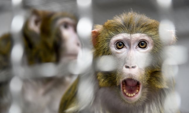 Revealed: all 27 monkeys held at Nasa research center killed on single day in 2019