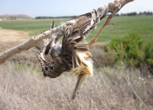 A fan-tailed warbler trapped by glue in Cyprus.