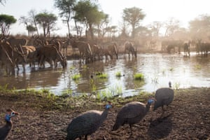 A herd of eland and some guinea fowl come to drink at the water hole