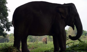 Thailand's roughly 4,000 domesticated elephants outnumber an estimated 2,500 remaining in the wild.