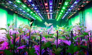 Farming under coloured lights in Wageningen, Netherlands