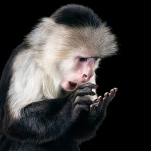 Capuchin monkeys often mimic human behaviour. Could this one, called Rupee, be texting?