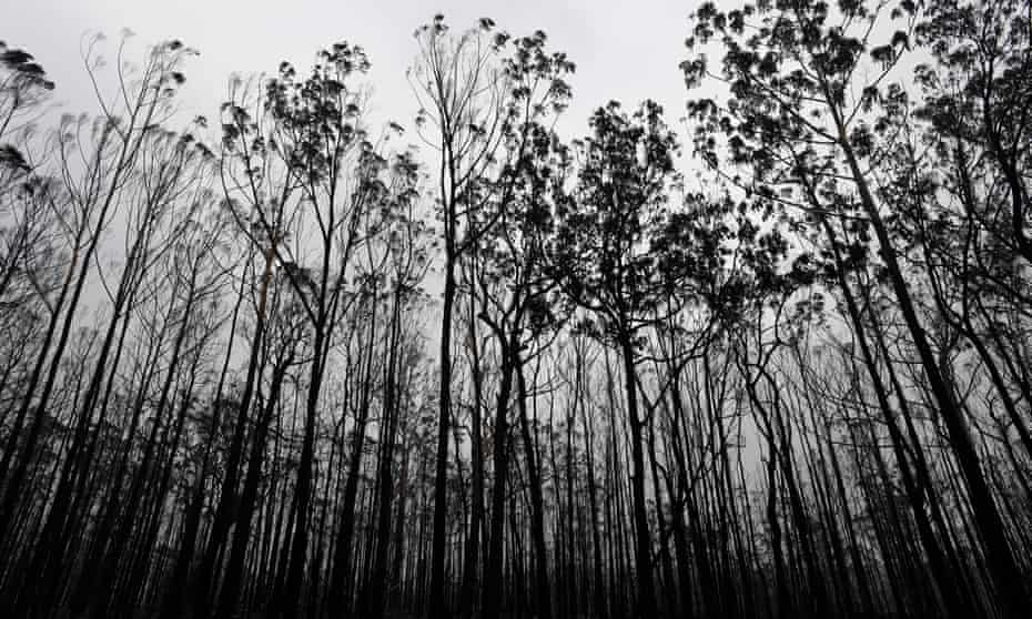 A burnt forest of tree trunks.