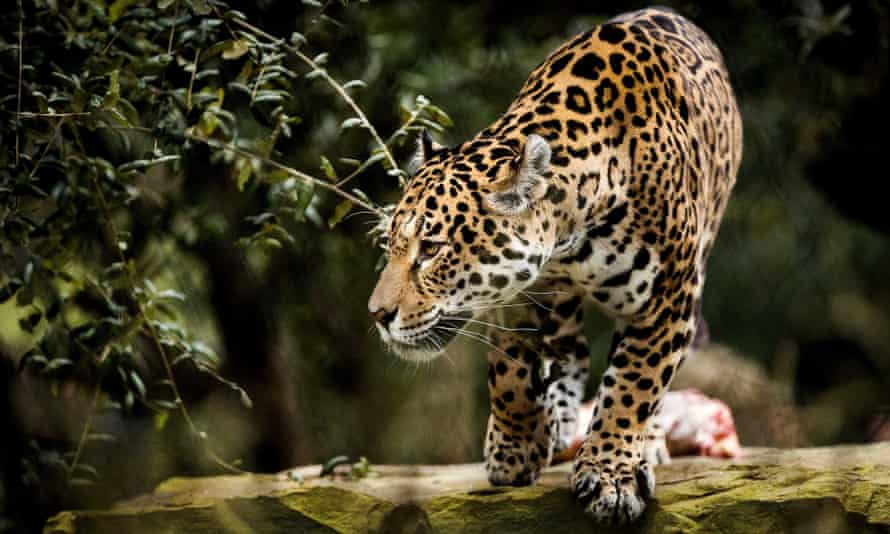 A jaguar escaped from its enclosure at Audobon zoo in New Orleans and killed five alpacas, two foxes and an emu.