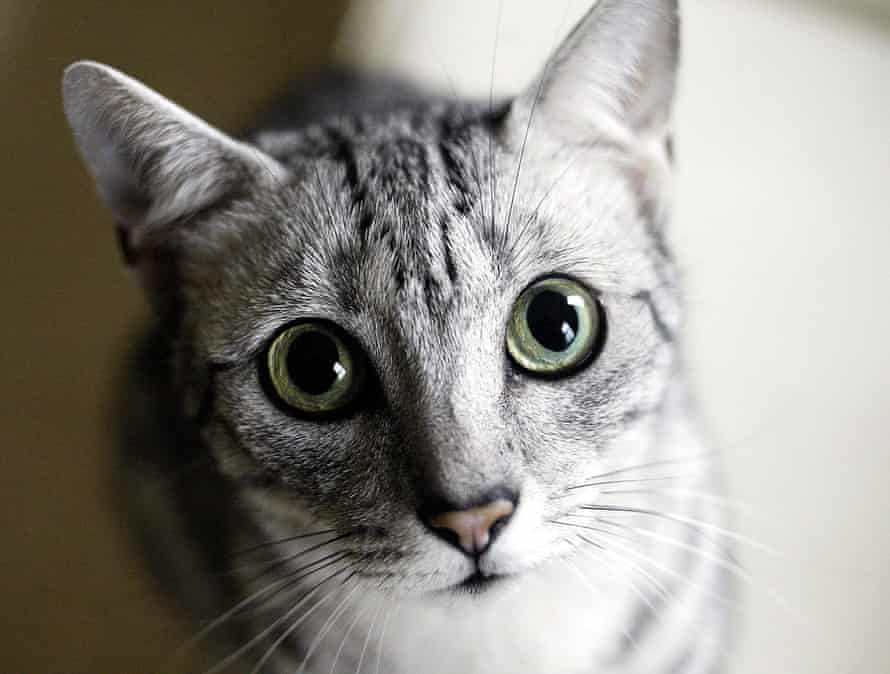 The Egyptian Mau cat, one of the many modern breeds around today.