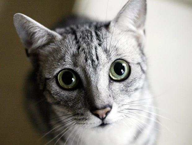 Norwegian Cat Personality Traits