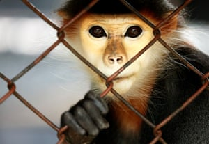 A Red-shanked Douc Langur looks on inside a cage at the 80-year-old Dusit Zoo in Bangkok, Thailand, which is about to close its gate at the end of August 2018.