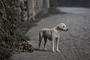 A Stray dog is covered in ash. Taal spurted fountains of lava early on Monday while its ash and steam ejections slightly eased.