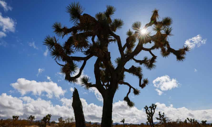 Joshua trees are seen near Joshua tree national park in California.