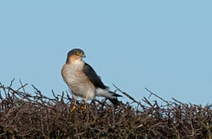 A male sparrowhawk standing on a leafless hedge