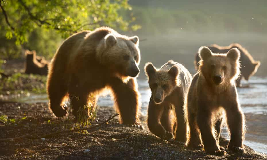 A mother bear and her cubs by the shore of Lake Kurile, Kamchatka, Russia.