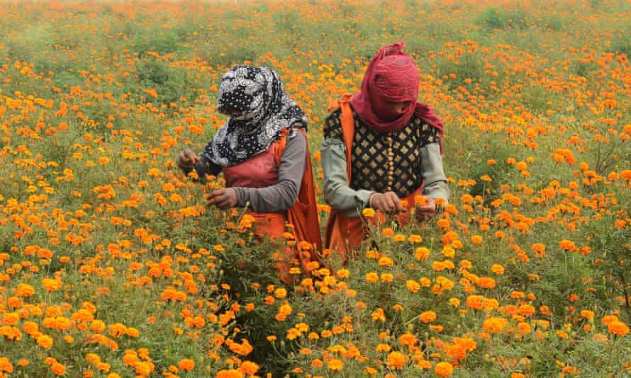 Indian labourers harvest marigold flowers