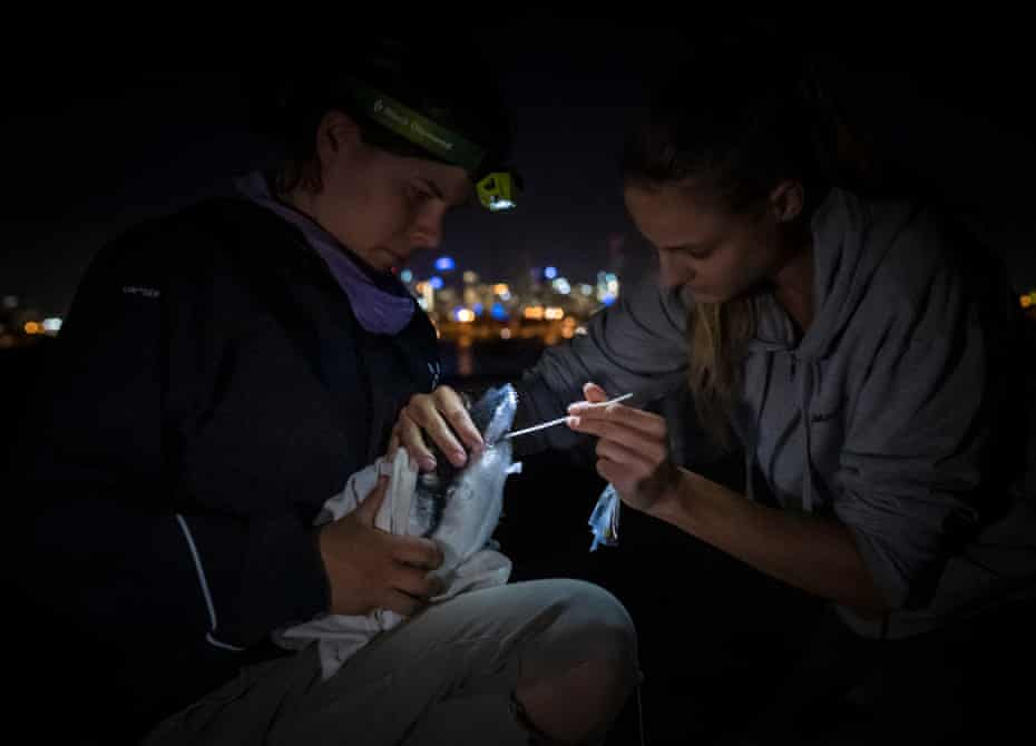 Researcher Ida Lundback, right, with the assistance of volunteer Naomi Wells, left, takes a faecal sample from a captured little blue penguin (Eudyptula minor) before returning it back to its burrow.