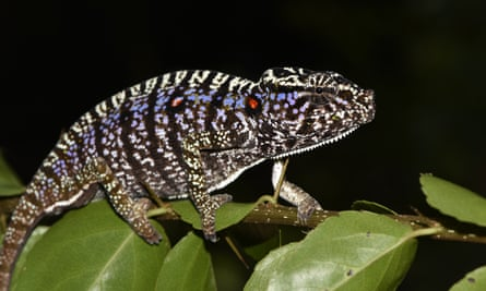One of the Voeltzkow's chameleons spotted in Madagascar